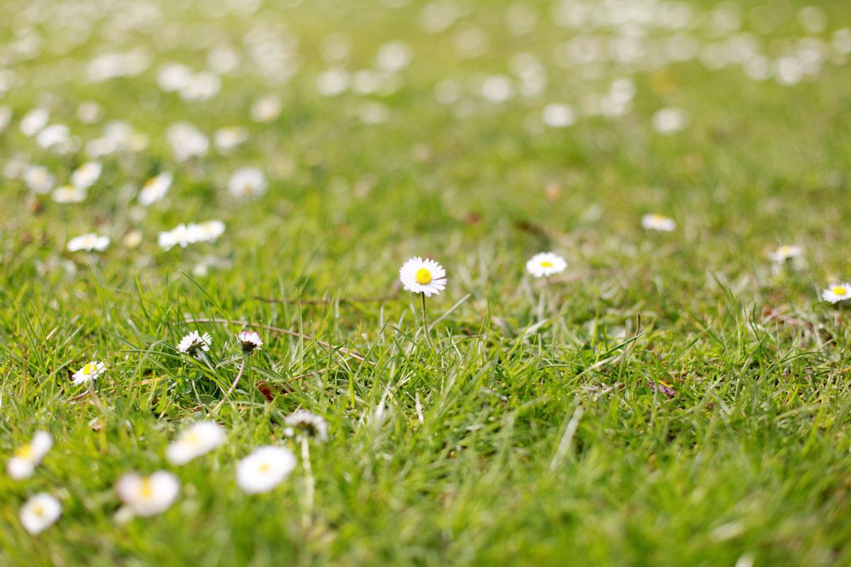 grasveld vol met madeliefjes, lente, bloemen, voorjaar