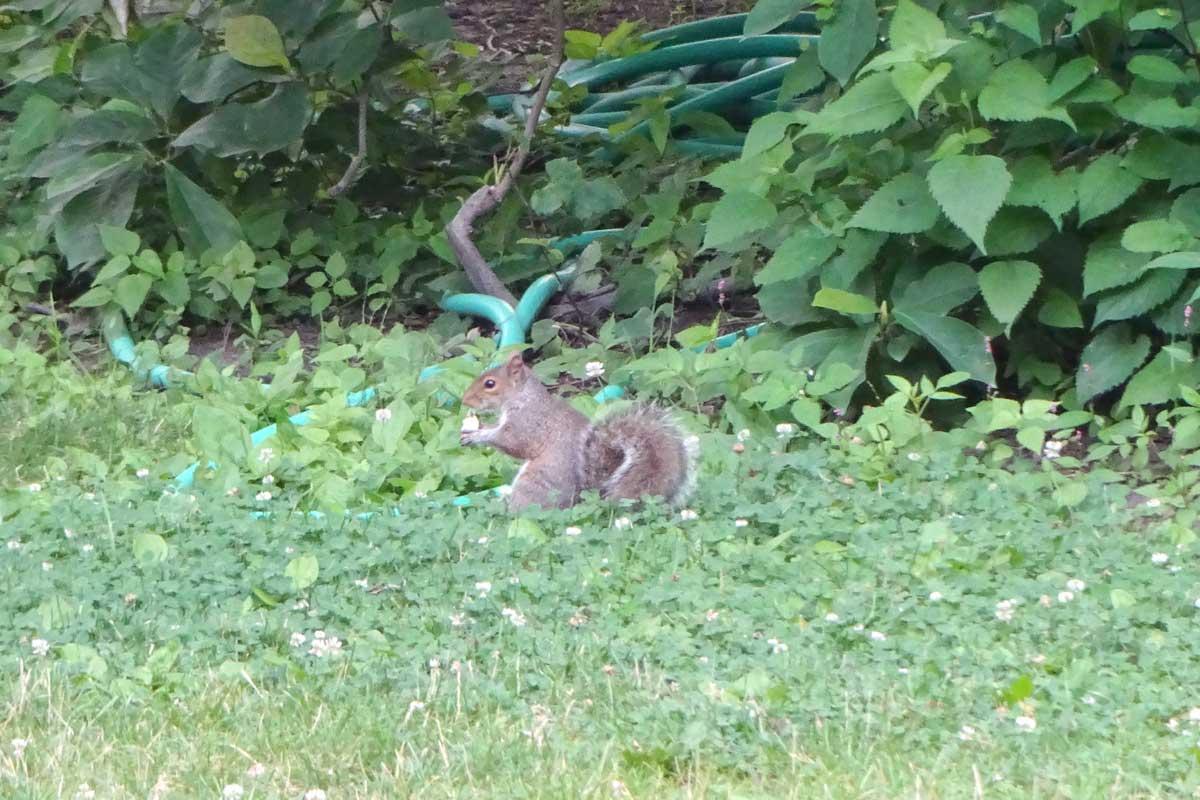 squirrel Central Park, New York eekhoorn, amerikaanse eekhoorn, amerikcan squirrel