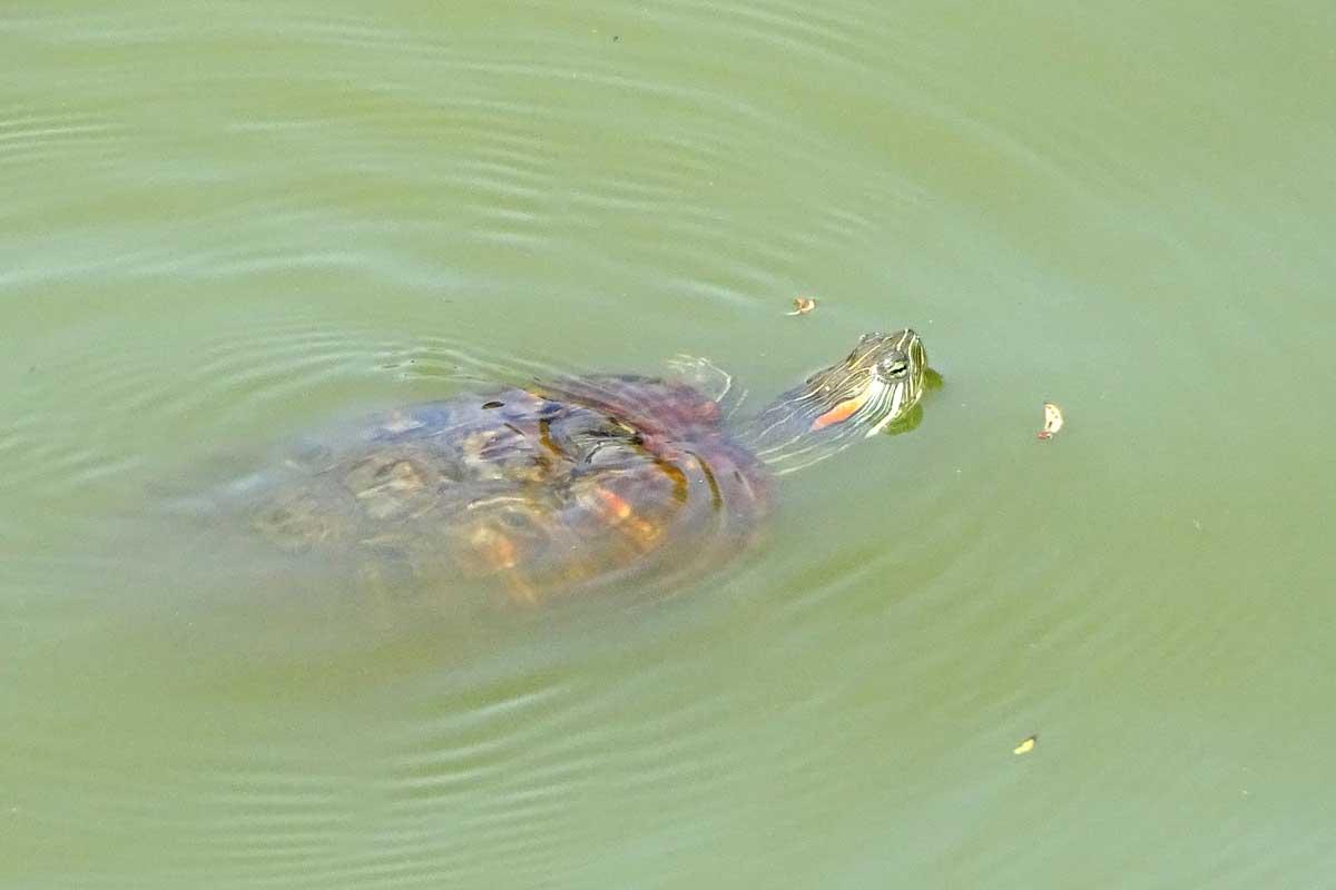 schildpad, roodwang, dieren in central park new york, waterschildpad central park