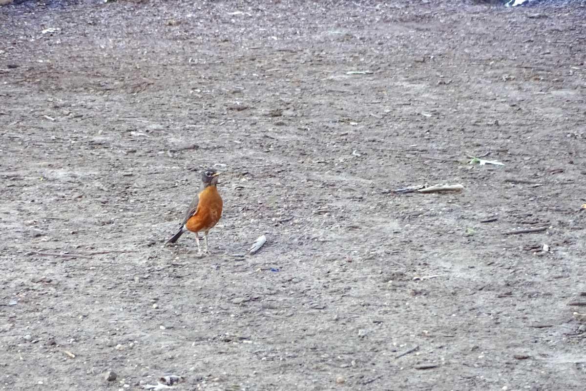 roodborst lijster, vogels in central park new york, merel met rode buik