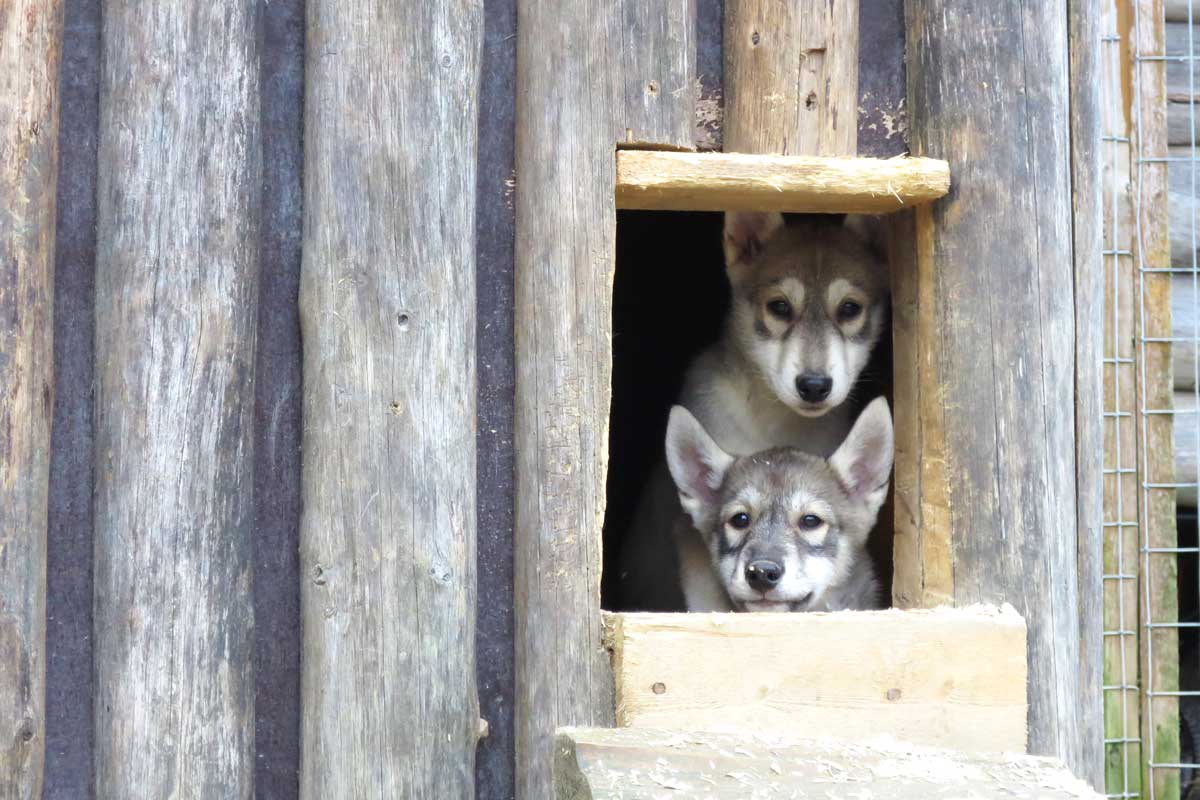 puppys husky, baby huskies, rovaniemi, lapland