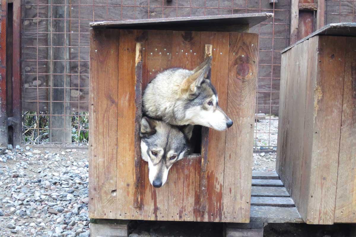 huskies, rovaniemi, lapland, finland, husky park