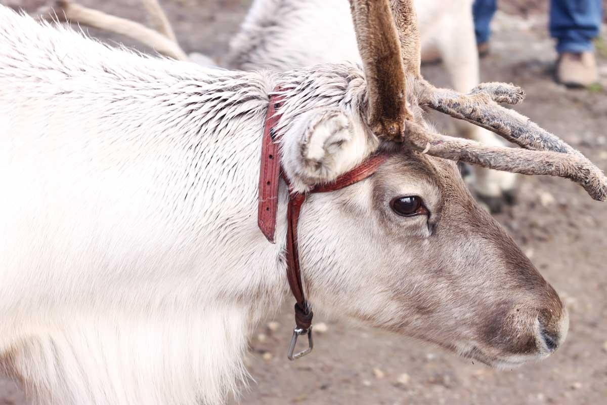 rendier in santa claus holiday village, rendieren voeren, rendieren knuffelen, rendieren zien, lapland, fins lapland, finland