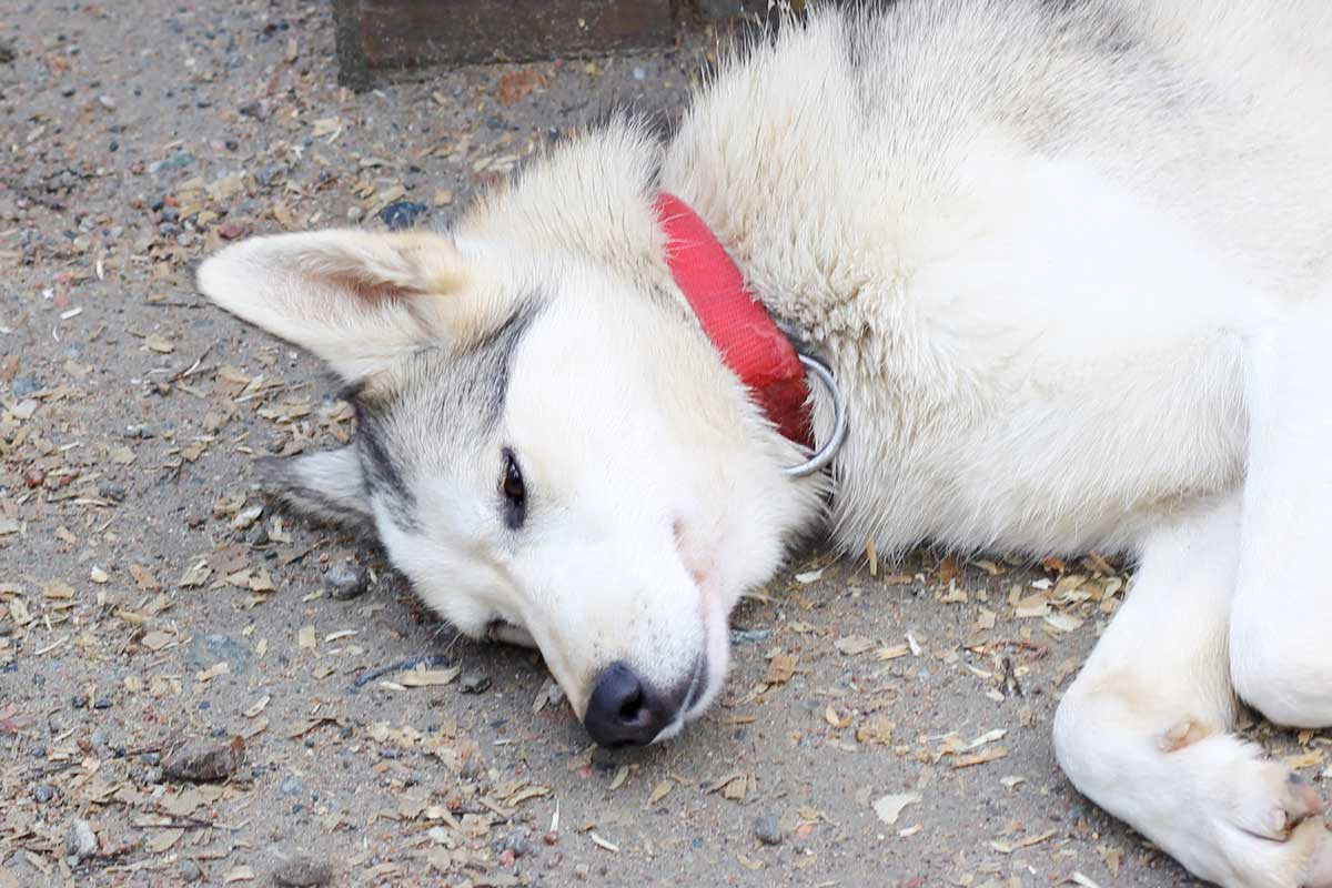 sleeping beauty, sleeping husky, husky park rovaniemi, finnish lapland, fins lapland, santa claus village