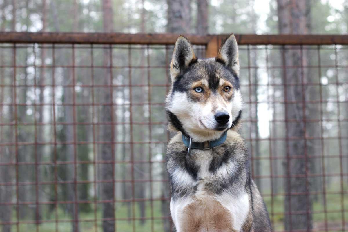 bluebrwon eye, blauw en bruin oog, husky, fins lapland, rovaniemi, huski park, mooi, hond, puppy, sledehond