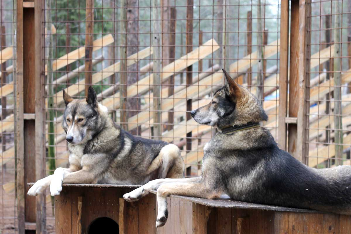 husky honden, theekransje, netjes, buitenhokken, fins lapland, finland, rovaniemi, santa claus holiday village, husky farm, bezoeken