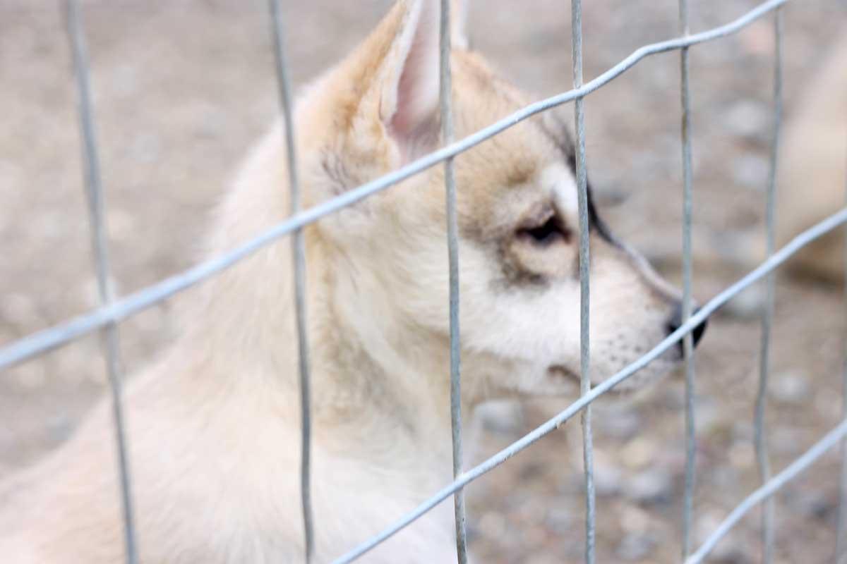 husky puppie, husky puppy, 9 weken, cute, lief, rovaniemi, fins lapland, scandinavie, husky park, knuffelen, leuk om te doen